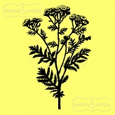 rubber stamp weed - tansy