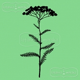 rubber stamp weed - yarrow
